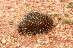 Cute little echidna