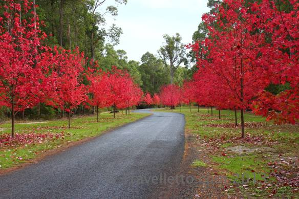 Gorgeous autumn colours, the approach to Silkwood Wines